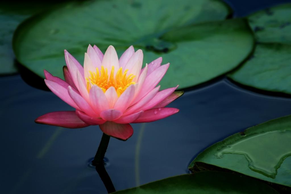 Lotusblommans yta består av en ojämn nano-struktur som gör att smuts inte fastnar på bladen.